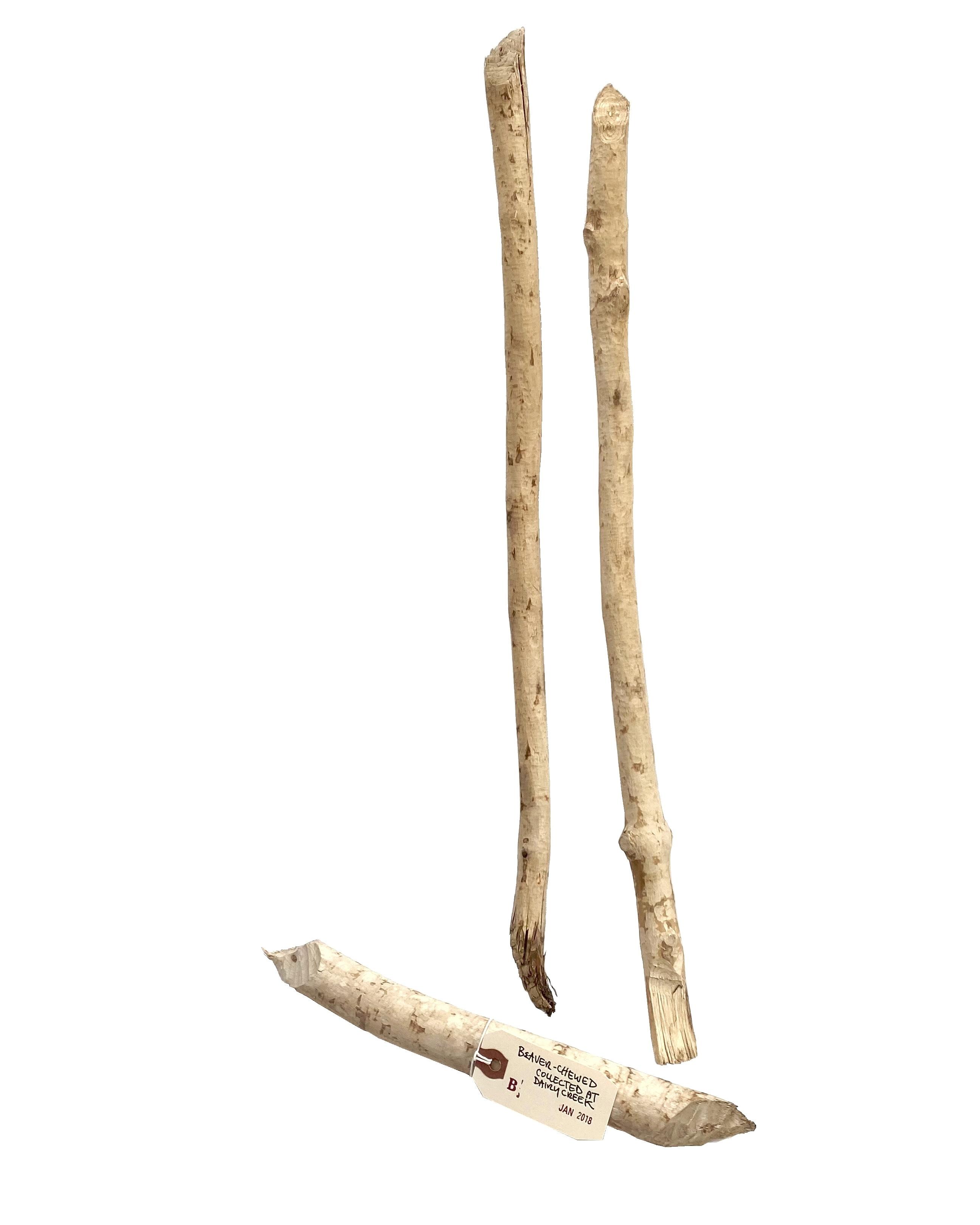 2018 Jan - beaver-chewed sticks